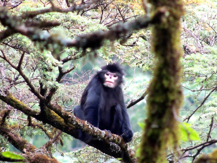 New hope for critically endangered Myanmar snub-nosed monkey