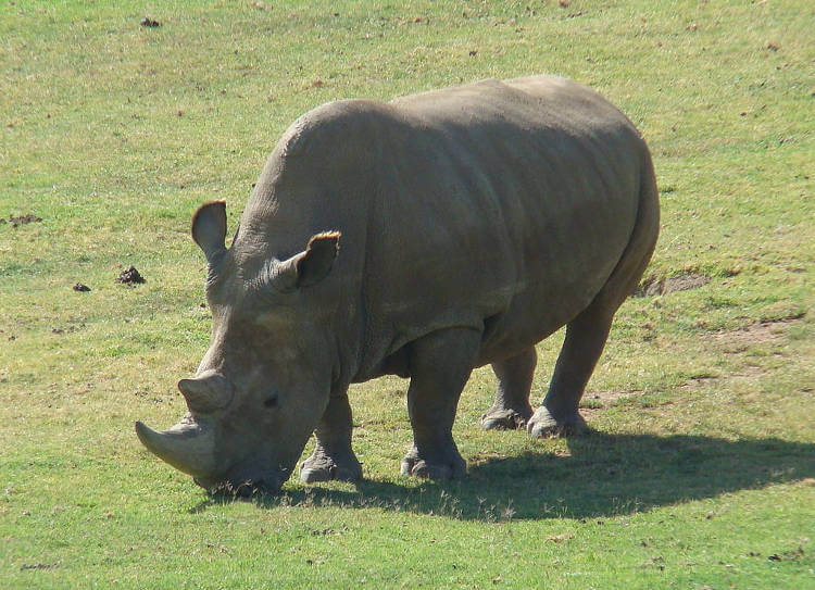 Frozen Zoo collection has same diversity as living population of white rhinos
