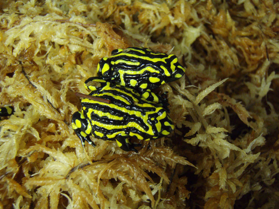 Northern Corroboree frogs