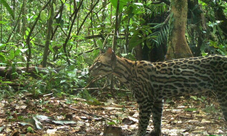 Ocelot density in Brazilian Amazon may be lower than expected