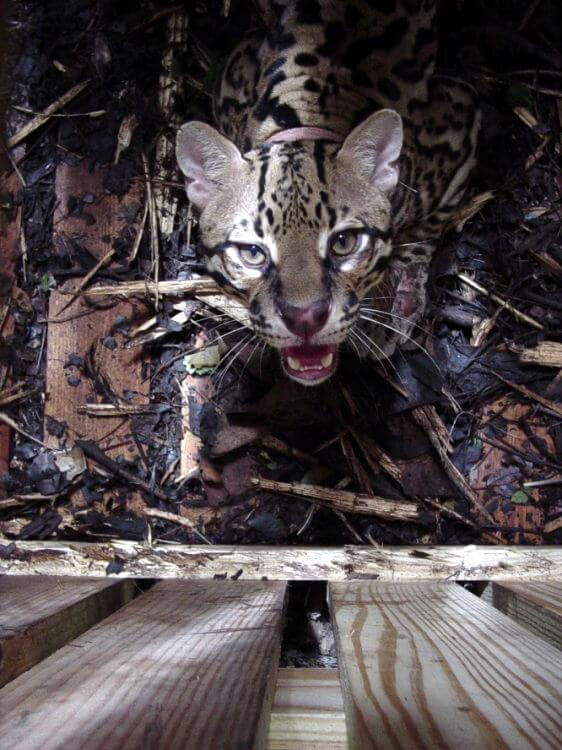 Hungry agoutis risk their lives to be eaten by ocelots