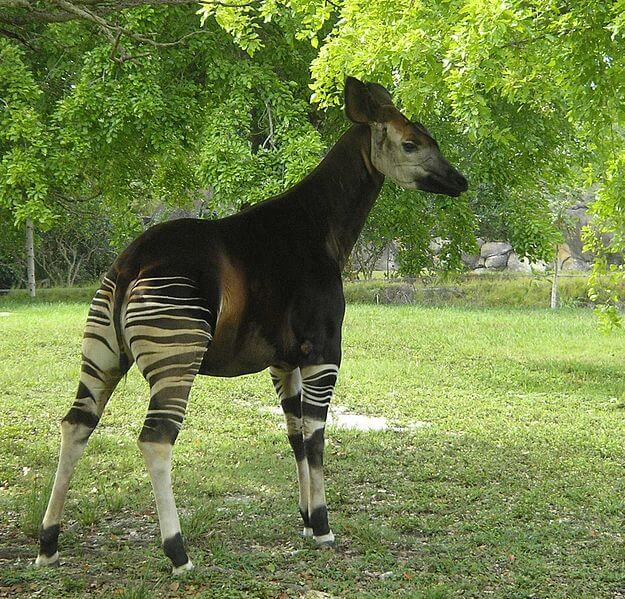 Okapi joins growing number of threatened species