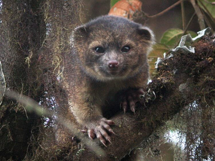 New carnivorous mammal species, Olinguito, discovered in the American continents