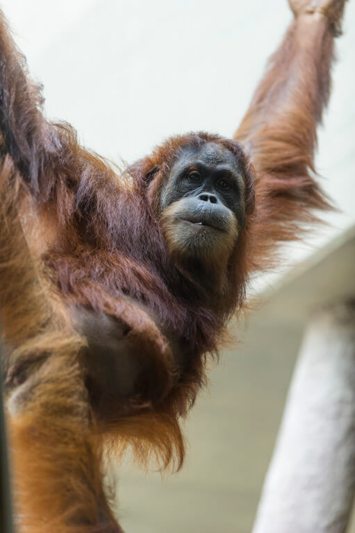 New group of orangutans established in Basel Zoo