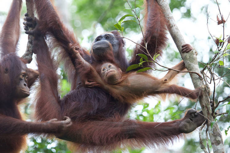 Reintroduction and mixing Bornean orangutans subspecies, a turn for the worse?