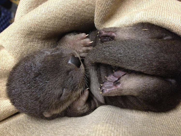 Three new Otter Pups on exhibit at Oakland Zoo