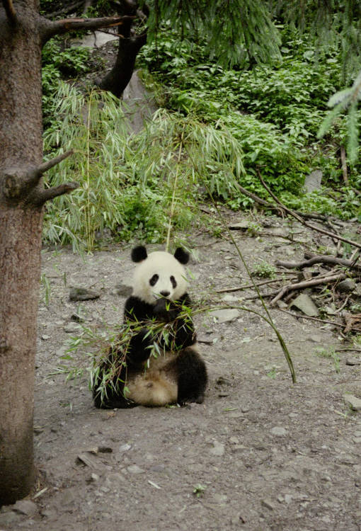 Wild Giant Panda population increases nearly 17%