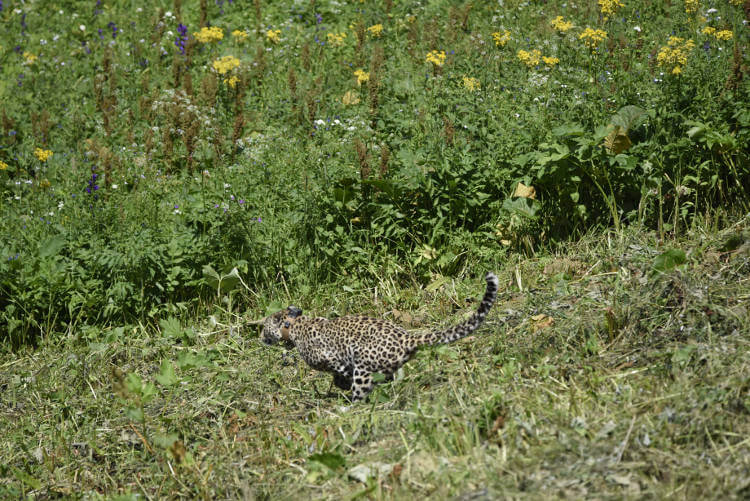 Persian leopards set to make roaring comeback in Russia's Western Caucasus