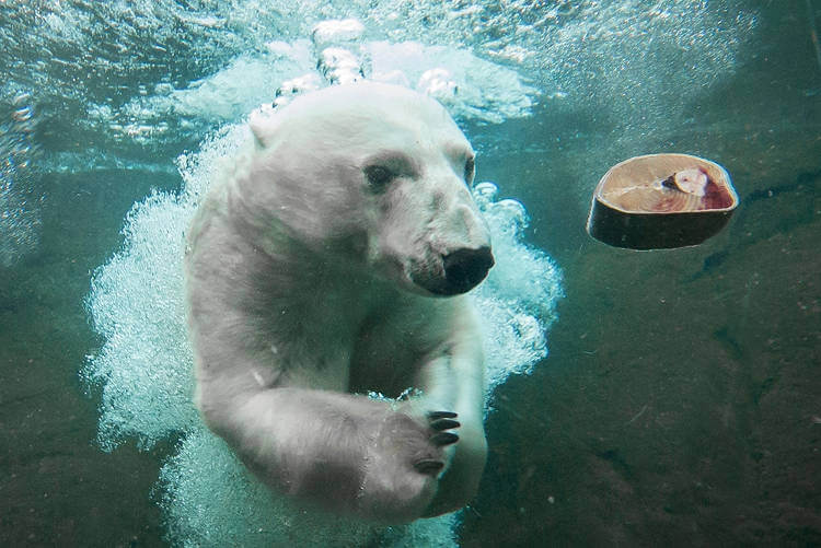 Zoo supports research of polar bears' shifting diets by climate change