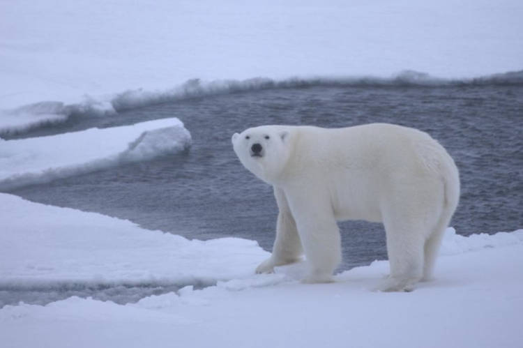 Polar bears will starve due to loss of sea ice, in the end...