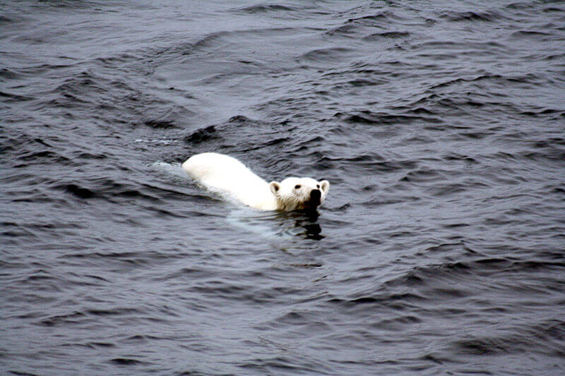 Climate change most serious threat to Polar Bear, says new assessment