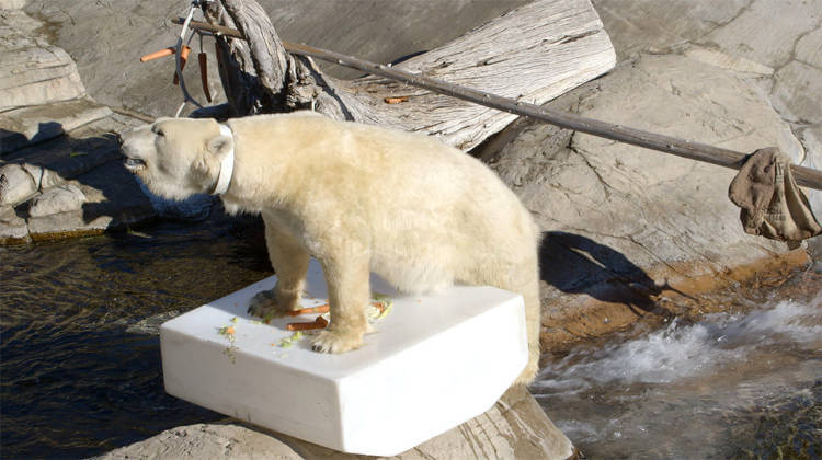 San Diego Zoo polar bear being conditioned to wear accelerometer