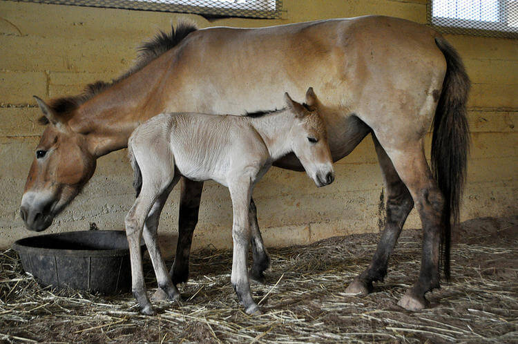 Birthday of first Przewalski's horse born by artificial insemination