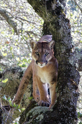 Cougars could save human lives by lowering vehicle collisions with deer