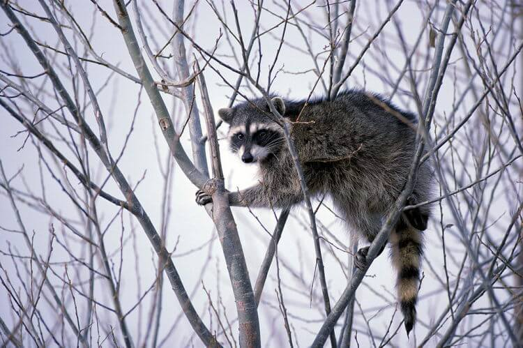 Fear of carnivores good for ecosystem health: a raccoon study