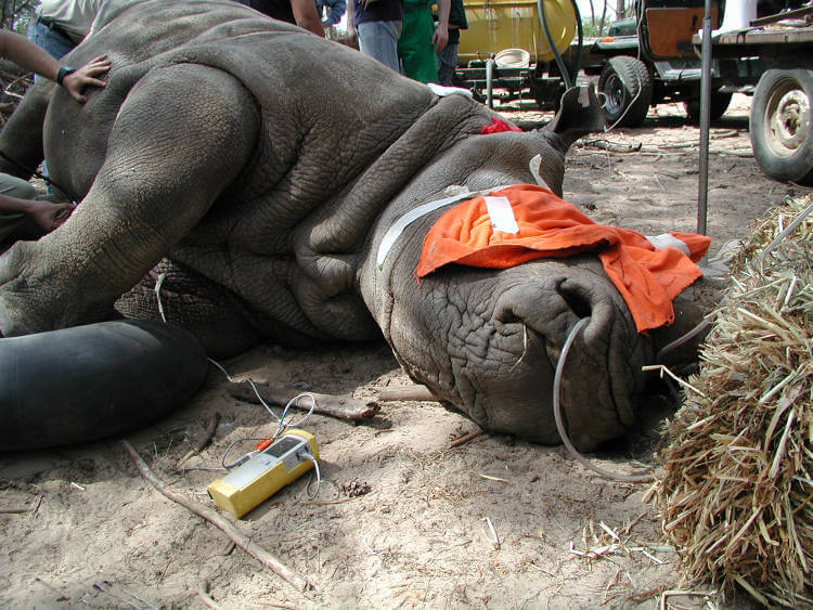 Captive rhinos need regular check ups to prevent health problems