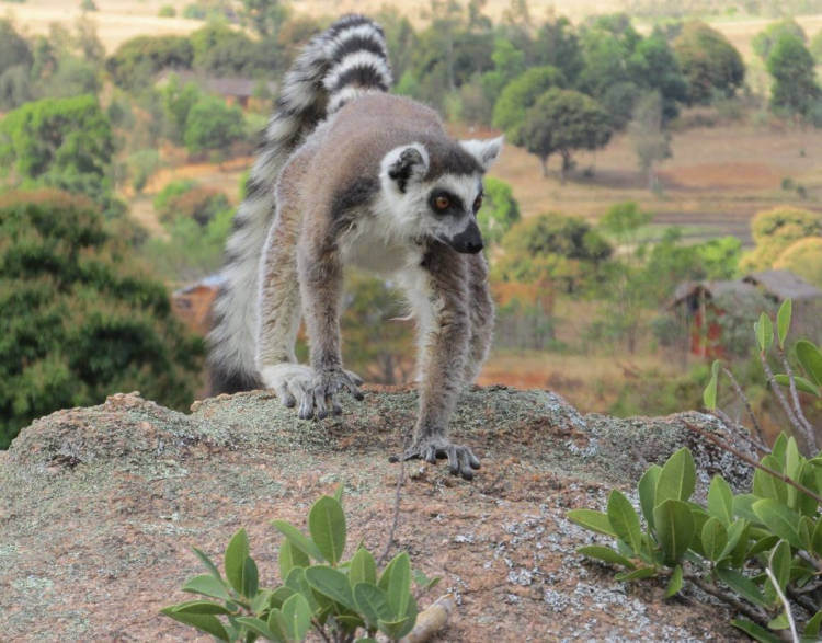 The number of ring-tailed lemurs is plummeting at alarming rate
