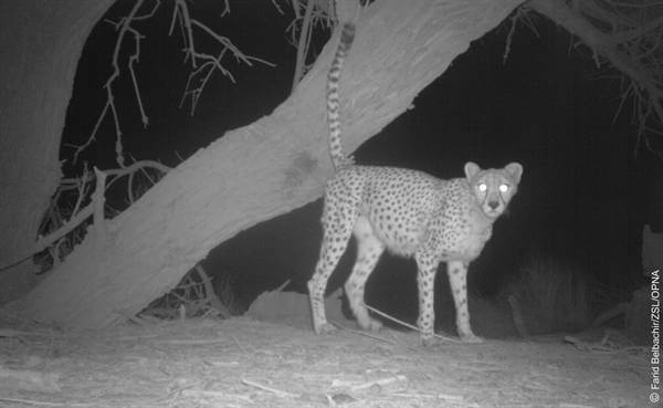 Rare glimpse at the elusive Saharan cheetah