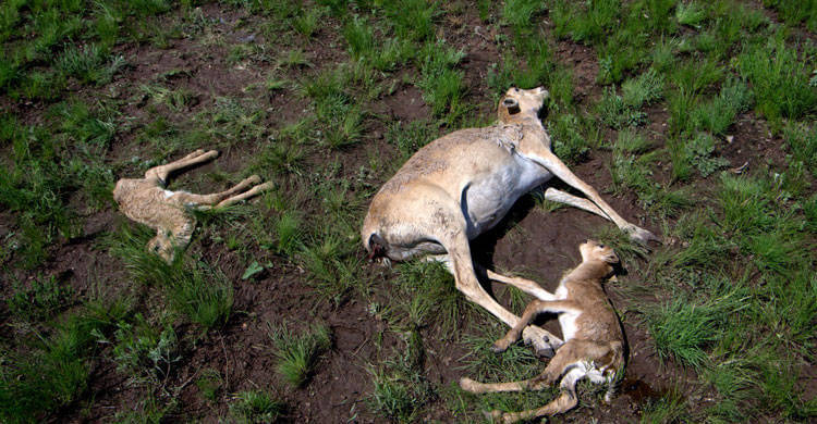 Catastrophic collapse of Saiga antelopes in Central Asia