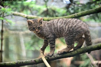 Critically endangered Scottish wildcat kittens born at Highland Wildlife Park - Scotland