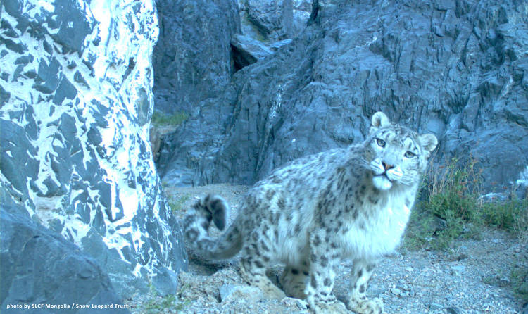 Ground-breaking discovery: there are three subspecies of the snow leopard
