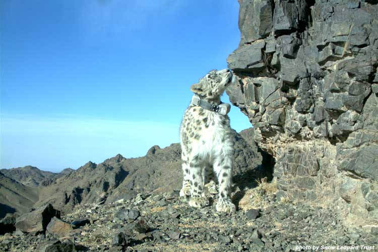 Protected Areas are too small for snow leopards, says new research