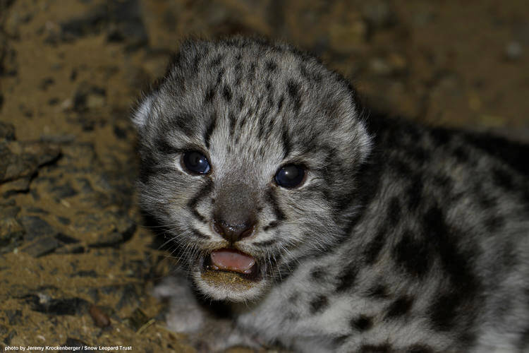Researchers have exceptional encounter with wild Snow Leopard cub