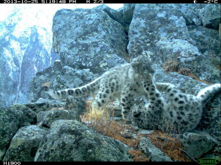 Two snow leopard cubs - sign of hope for a species on the brink of extinction