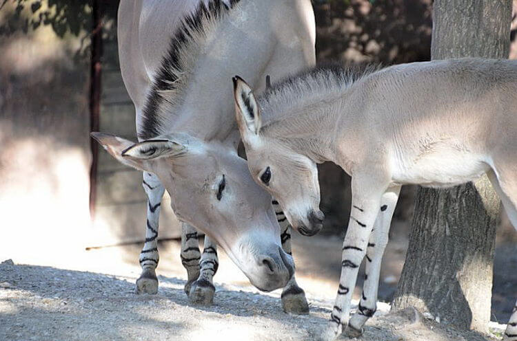 Multiple births of rare Somali wild asses at Saint Louis Zoo