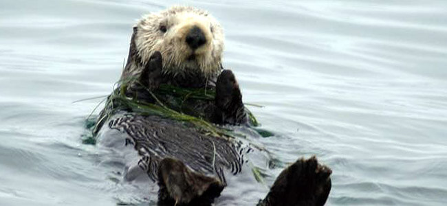 'No-otter zone' finally lifted in California, and all sea otters considered a threatened species