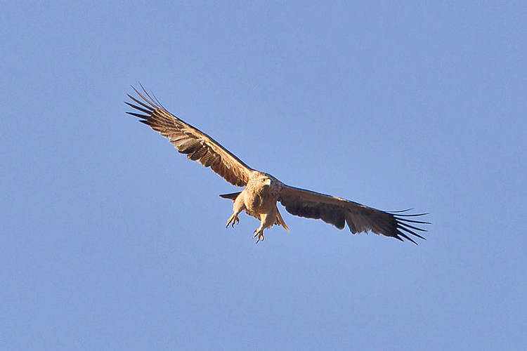 Veterinary drug diclofenac kills vultures ánd eagles, according recent study