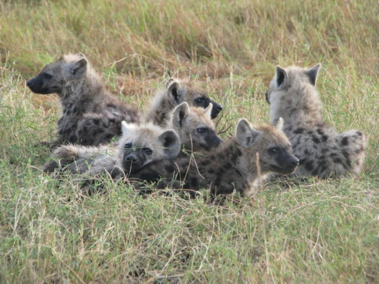 Spotted hyenas show why Facebook works – befriending is everything