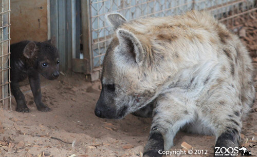 First ever hyena caesarean in Australia, performed at Monarto Zoo