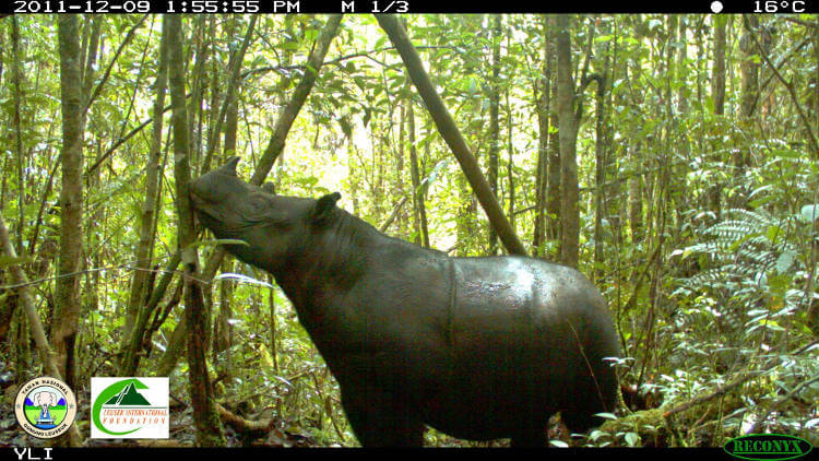 Saving wild Sumatran rhinos from the brink of extinction is still possible