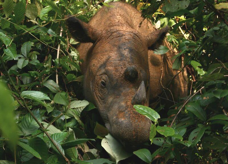 Inbreeding Sumatran rhinos at Cincinnati Zoo as a last resort to avoid extinction