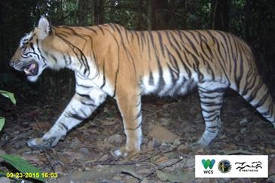 Sumatran tigers on path to recovery in an 'In Danger' UNESCO world heritage site