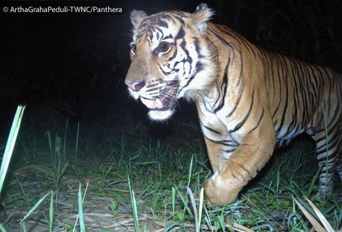 Camera trap survey brings glimmer of hope for Sumatran tigers