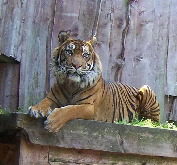 New Sumatran tigers arrive at ZSL London Zoo