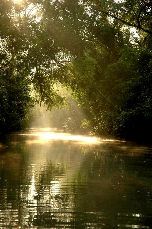 Disappearing Sundarbans mangrove forests, a threat to tigers