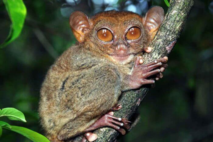 Genome of the tarsier, the carnivorous primate, reveals ties to humans