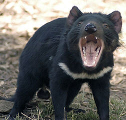 Cooling climate drove evolution of Tasmanian devil while other marsupials went extinct