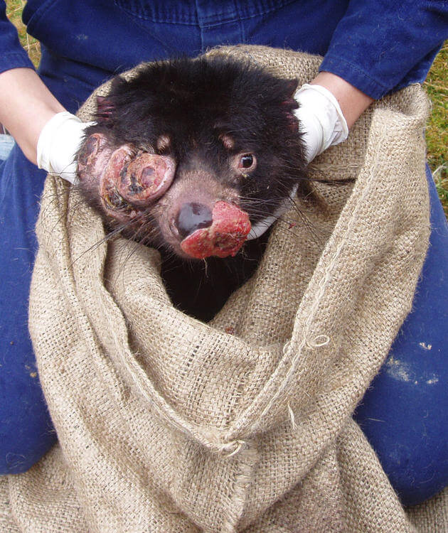 Tasmanian devils evolve to resist deadly transmissible facial cancer