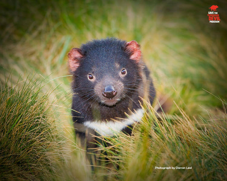 Can Tasmanian devils naturally recover from deadly transmissible facial cancer?
