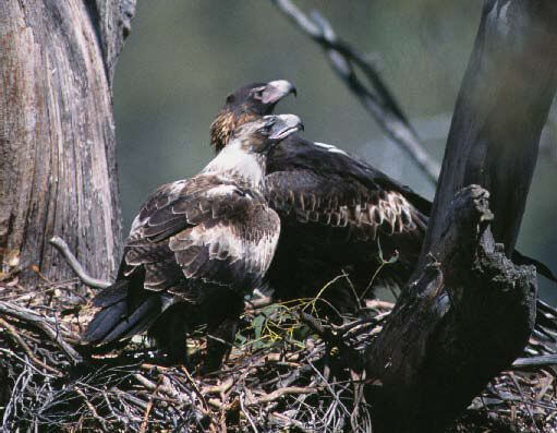 Wedge-tailed eagle flew to Tasmania, scientists say