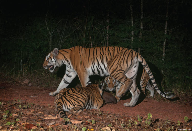 Tigress with cubs in Thailand