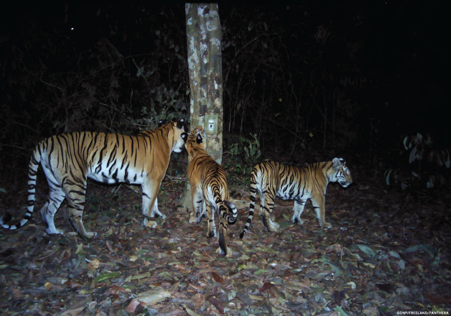 Tigress with cubs inspecting cameratrap