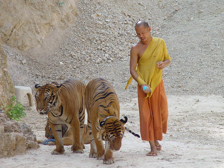 Controversial tiger temple in Thailand gets zoo license