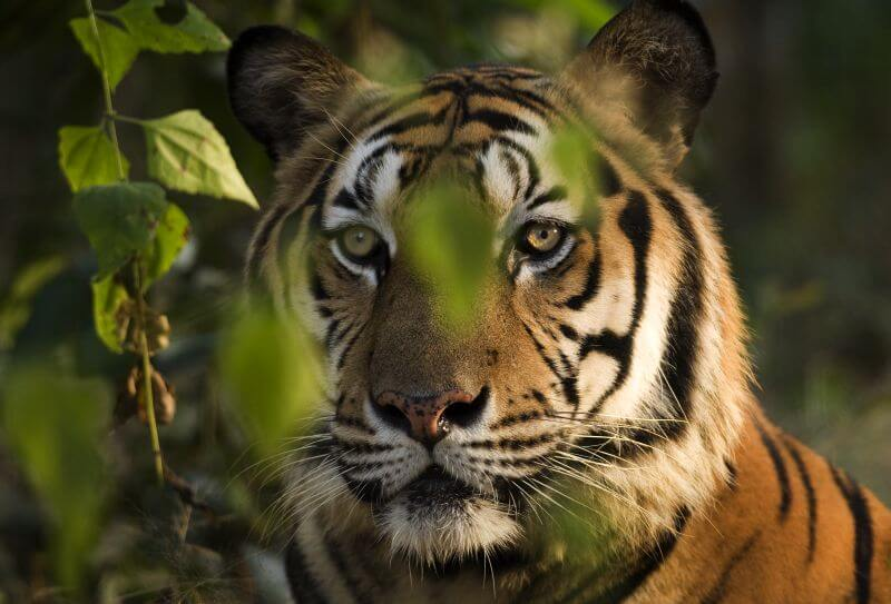 About FFI's Sumatran tiger work by Dr Matt Linkie