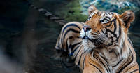 Wild tiger populations in key sites could triple in a generation, given optimal conditions
