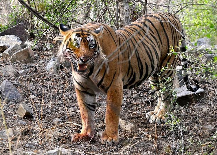 Tiger in Ranthambore turns into man-eater because of a splinter in its paw
